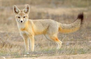 Kit foxes are protected at all Aera properties.