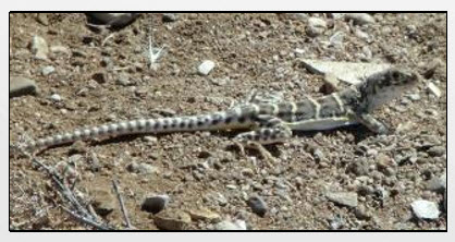 The blunt-nosed leopard lizard is one of the protected species on Aera lands.